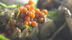 Live rock of dead crayfish with caviar on a stone among the seaweed - stock footage