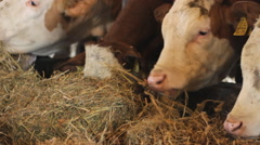 Simmental cattle eat hay  Stock Footage