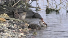 Birds sparrows bathe in water on the bank of the river in the spring Stock Footage