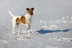 Smooth Fox Terrier standing in the rack on a flat snow surface. Training a hu Stock Photos