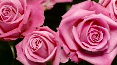 Big Beautiful Pink Rose Buds Stock Footage