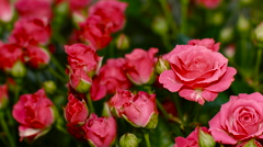 Large Bouquet of Bright Pink Roses - stock footage