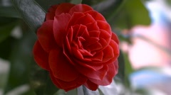 Red Camellia Flower Stock Footage