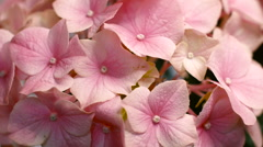 Pink Hydrangea Flower Blooming, Close-Up Stock Footage