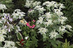 Euphorbia marginata or whitemargined spurge Stock Photos