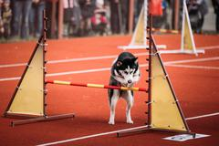 Young Funny Husky dog jumping outdoor at agility - stock photo