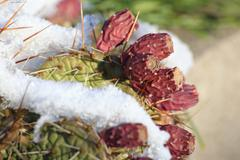 Hardy prickly pear species (Opuntia howeyii) under snow cover Stock Photos
