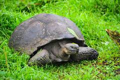 Galapagos tortoise on the grass - stock photo