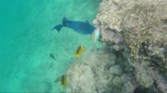 Giant Red Sea fish Blue-and-gold triggerfish - stock footage