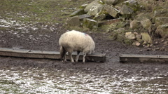 Sheep north England farm winter snow 4K Stock Footage