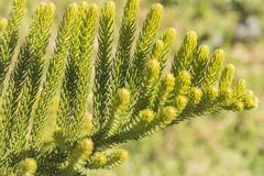 Araucaria heterophylla Leaf, Araucaria  excelsa is a member of the Araucariac Stock Photos