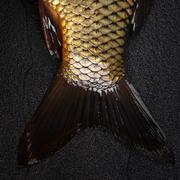 The tail of the fish carp on the surface of dark stone. - stock photo