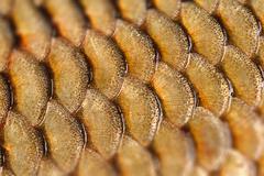 Photographed close-up of fish squama carp family. Tilt-Shift effect Stock Photos