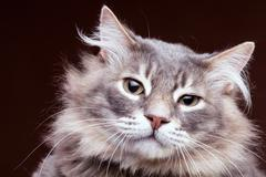 Very annoyed cat on brown background in studio - stock photo