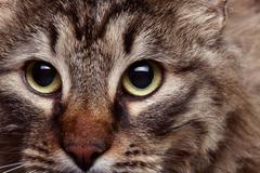 Cat head in close up with agressive look Stock Photos