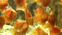 Goldfish in the aquarium. - stock footage