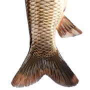 The tail of the fish carp isolated on white background - stock photo