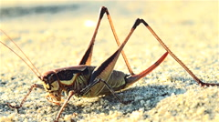 Giant grasshopper are on the seashore sand Stock Footage