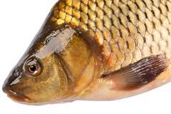 Head fish carp isolated on white background - stock photo