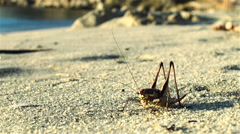 Giant grasshopper are on the seashore sand - stock footage