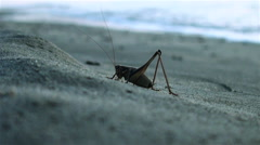 Giant grasshopper are on the seashore at sunrise - stock footage