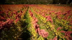 Red blooming QUINOA plants in Peru, South America Stock Footage