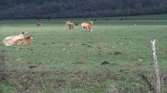 Cows, montenero val cocchiara, isernia Stock Footage