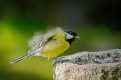 Adult great tit flew on a bird feeder - stock photo