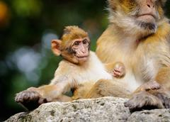 Young Barbary macaque next to an adult female, Netherlands Stock Photos
