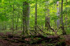 Deciduous stand of Bialowieza Forest in summer with broken trees in foregroun - stock photo
