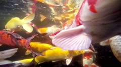 Koi fish in a pond. Underwater scene. Stock Footage