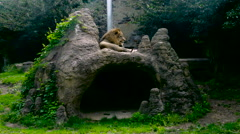 Lion Resting on a Rock Stock Footage