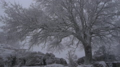 Frosted tree moved by the blizzard Stock Footage