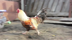 Large and beautiful rooster strutting around the yard of the rural Stock Footage
