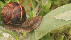 Snail on snowy green leafs Stock Footage