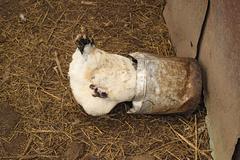 The hen pecks grain Stock Photos