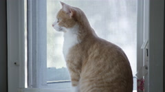 Handsome lonely house cat sitting in front of the window longing to go outside. Stock Footage