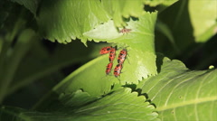Green leaf place beetles copulate Stock Footage