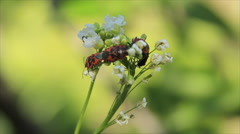 Beetles couples copulate on flower Stock Footage