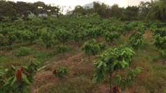 Flying above cacao farm - stock footage