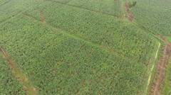 Aerial extreme long shot of banana plantation. Stock Footage