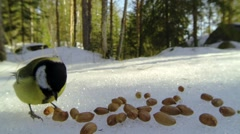 A great tit bird trying to grab peanuts - stock footage