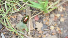Stock Video Footage of Chrysolina americana beetle