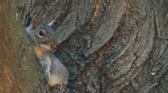 Squirrel hiding in a tree Stock Footage