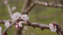 Bee seeks nectar of cherry blossoms. Stock Footage