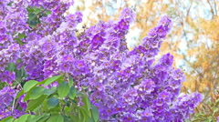 Lagerstroemia floribunda flowers in summer time on green leaves Stock Footage