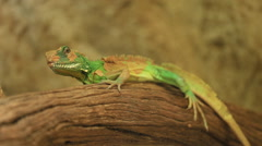 Chinese water dragon (Physignathus cocincinus) on wood, Thai Water Dragon Stock Footage