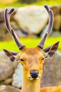 Deer Head Antlers Closeup Face Front Nara Japan - stock photo