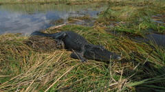Tour guide in Everglades swamp introducing big alligator Stock Footage