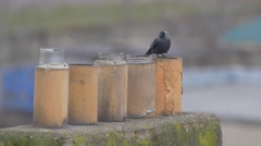 Western jackdaw on chimney in winter - no color grading Stock Footage